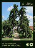 17-Ель-обыкновенная-Picea-abies-'Pendula-Major'