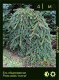 11-Ель-обыкновенная--Picea-abies-'Inversa'1