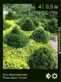 25-Ель-обыкновенная-Picea-abies-'Tompa'