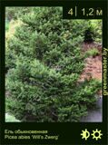27-Ель-обыкновенная-Picea-abies-'Will's-Zwerg'