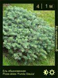 19-Ель-обыкновенная-Picea-abies-'Pumila-Glauca'
