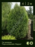 34-Туя-западная-Thuja-occidentalis-'Wagneri'