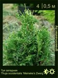 23-Thuja-occidentalis-'Meineke's-Zwerg'