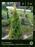 18-Туя-западная-Thuja-occidentalis-'Janed-Gold'-(Golden-Smaragd)