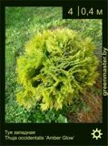 1-Туя-западная-Thuja-occidentalis-'Amber-Glow'