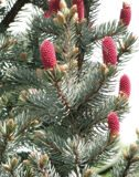 Picea-pungens1