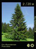 1-Ель-обыкновенная-Picea-abies