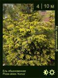 12-Ель-обыкновенная--Picea-abies-'Konca'