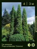5-Туя-западная-Thuja-occidentalis-'Columna'