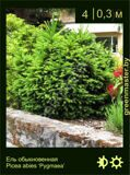 22-Ель-обыкновенная-Picea-abies-'Pygmaea'