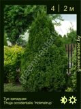 14-Туя-западная-Thuja-occidentalis-'Holmstrup'