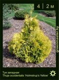 15-Туя-западная-Thuja-occidentalis-'Holmstrup-Yellow'