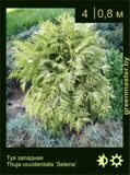 40-Туя-западная-Thuja-occidentalis-'Selena'