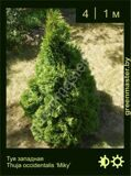 24-Туя-западная-Thuja-occidentalis-'Miky'