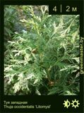 19-Туя-западная-Thuja-occidentalis-'Litomysl'