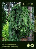 10-Ель-обыкновенная--Picea-abies-'Frochburg'