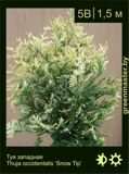 41-Туя-западная-Thuja-occidentalis-'Snow-Tip'