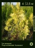 3-Туя-западная-Thuja-occidentalis-'Aurescens'