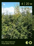 3-Ель-обыкновенная--Picea-abies-'Aurea'