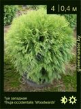 36-туя-западная-Thuja-occidentalis-'Woodwardii'