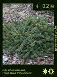 18-Ель-обыкновенная-Picea-abies-'Procumbens'