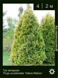 37-Туя-западная-Thuja-occidentalis-'Yellow-Ribbon'