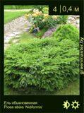 15-Ель-обыкновенная-Picea-abies-'Nidiformis'