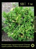 19-Кипарисовик-горохоплодный-Chamaecyparis-pisifera-'Filifera-Aureovariegata'