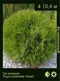 16-Туя-западная-Thuja-occidentalis-'Hoseri'
