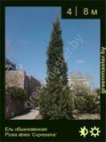 7-Ель-обыкновенная--Picea-abies-'Cupressina'