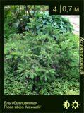 14-Ель-обыкновенная--Picea-abies-'Maxwellii'