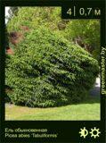 24-Ель-обыкновенная-Picea-abies-'Tabuliformis'